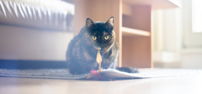cat sitting on home rug with toy