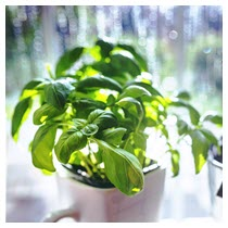 basil potted plant herb
