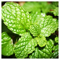 mint herb plant leaves