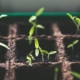seeding indoors sprouts plants seedlings