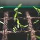 seeding indoors sprouts plants seedlings