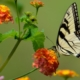 marigold attract swallow tail butterfly
