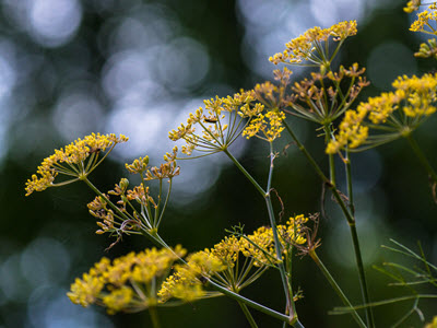 bronze fennel blooms