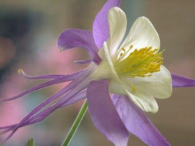 Rocky Mountain Columbine purple white flower
