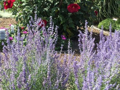 Russian Sage plant purple blossoms