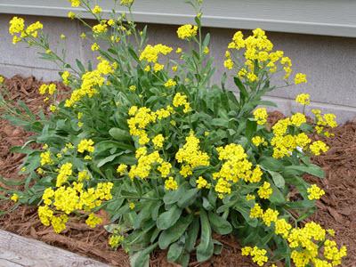 yellow alyssum flowers plant
