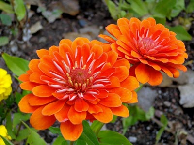 Zinnia flowers orange yellow