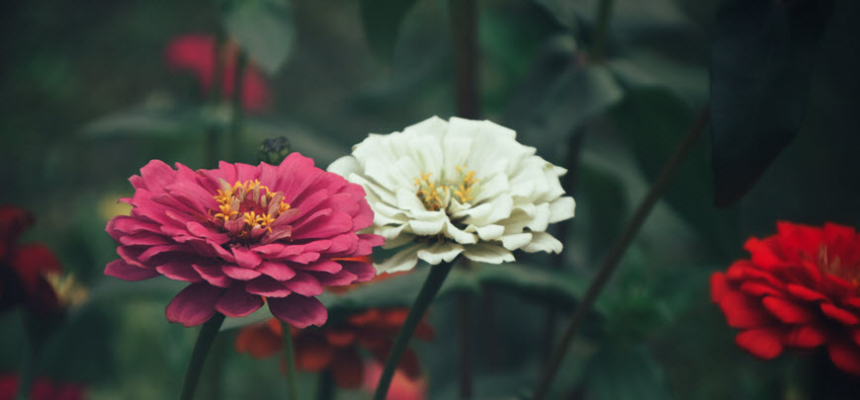 blooming flowers zinnia colorado plants landscaping