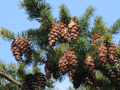 douglas fir tree branch pinecones