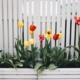 white fence flowers tulips planter