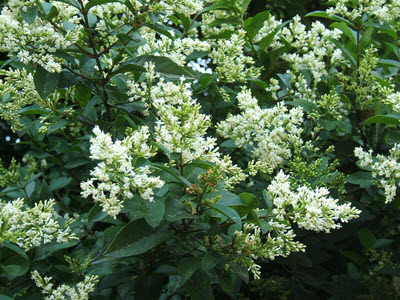 Cheyenne Privet white flowers bush
